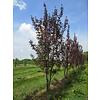 Boomkwekerij M. van den Oever Prunus serrulata 'Royal Burgundy' | Japanse sierkers  - Meerstam