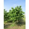 Boomkwekerij M. van den Oever Prunus serrulata 'Taihaku'  | Japanse sierkers - Meerstam