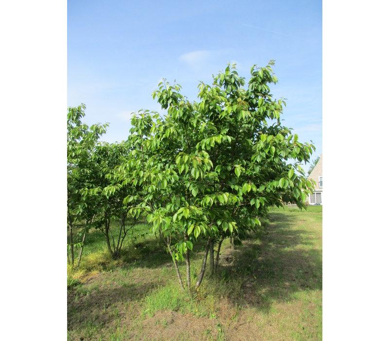 Prunus serrulata 'Taihaku'  | Japanse sierkers - Meerstam