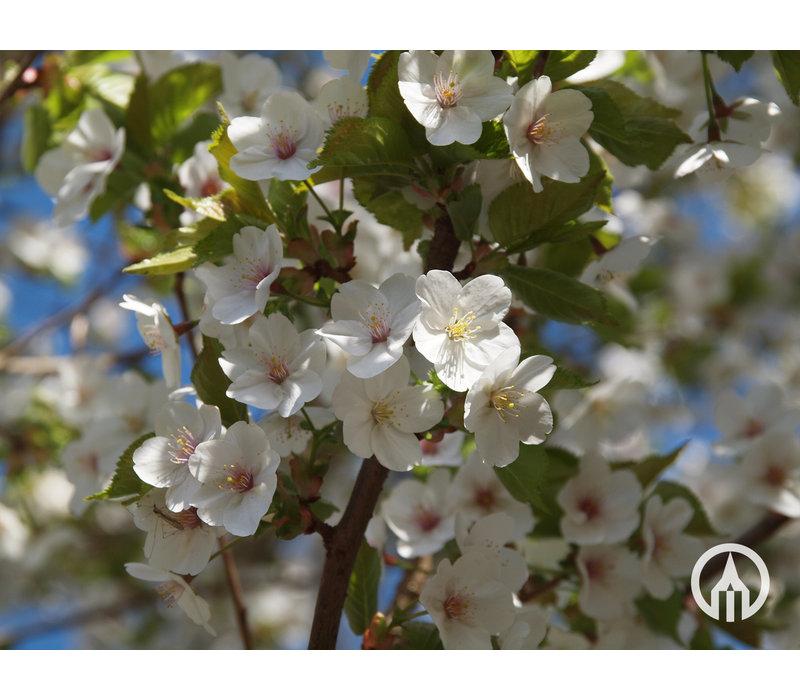 Prunus 'Umineko' | Sierkers   - Meerstam