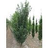 Boomkwekerij M. van den Oever Prunus 'Umineko' | Sierkers   - Meerstam