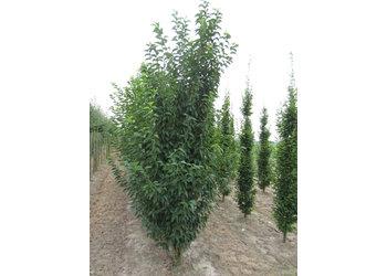 Boomkwekerij M. van den Oever Prunus 'Umineko'  - Meerstam