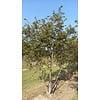 Boomkwekerij M. van den Oever Prunus subhirtella 'Autumnalis Rosea'   Sierkers  - Meerstam