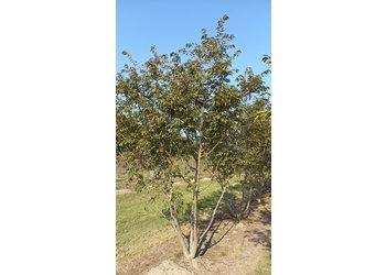 Boomkwekerij M. van den Oever Prunus subhirtella 'Autumnalis Rosea' - Meerstam