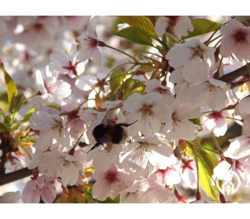 Prunus x yedoensis  | Yoshinokers   - Meerstam