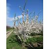 Boomkwekerij M. van den Oever Prunus x yedoensis  | Yoshinokers   - Meerstam