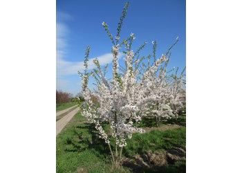 Boomkwekerij M. van den Oever Prunus x Yedoensis  - Meerstam
