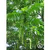 Boomkwekerij M. van den Oever Pterocarya fraxinifolia | Gewone vleugelnoot - Meerstam