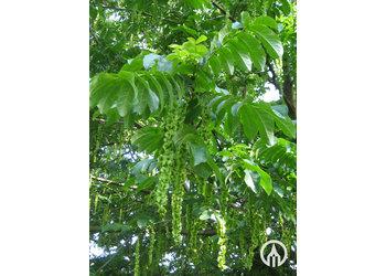 Boomkwekerij M. van den Oever Pterocarya Fraxinifolia   - Meerstam