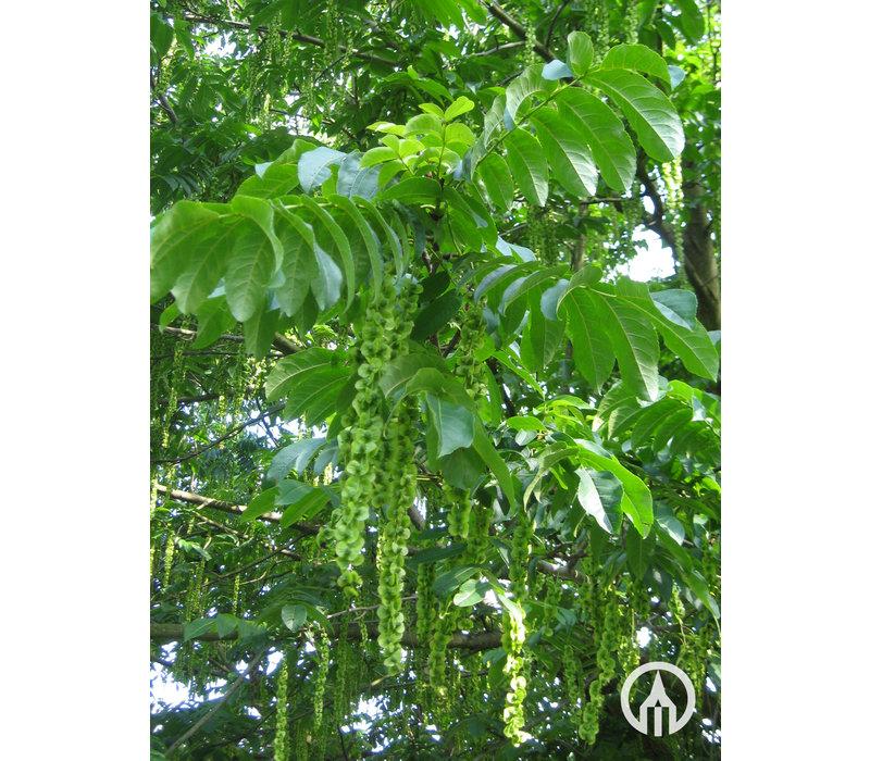 Pterocarya fraxinifolia | Gewone vleugelnoot - Meerstam