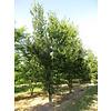 Boomkwekerij M. van den Oever Quercus robur | Zomereik - Meerstam