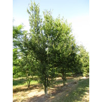 Quercus robur | Zomereik - Meerstam