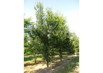 Boomkwekerij M. van den Oever Quercus robur  - Meerstam