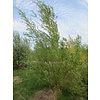 Boomkwekerij M. van den Oever Salix alba 'Chermesina' | Schietwilg - Meerstam