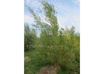 Boomkwekerij M. van den Oever Salix Alba 'Chermesina'  - Meerstam
