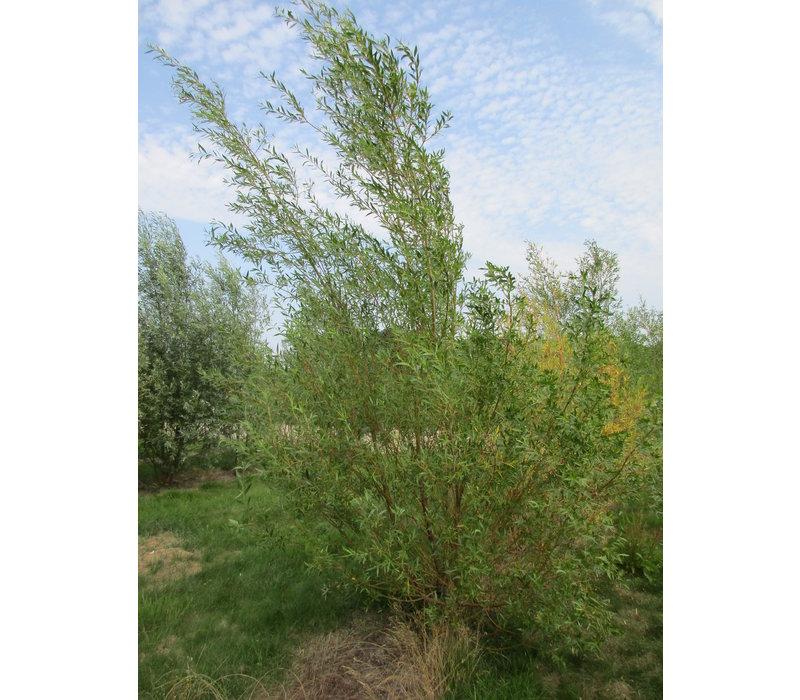 Salix alba 'Chermesina' | Schietwilg - Meerstam