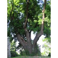 Styphnolobium japonica | Honingboom - Meerstam