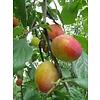 Boomkwekerij M. van den Oever Prunus domestica Victoria- Pruim