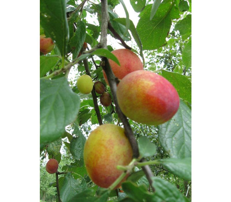 Prunus domestica Victoria- Pruim