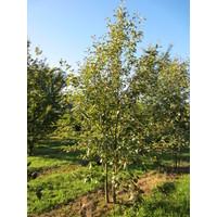 Sorbus intermedia | Zweedse lijsterbes - Meerstam