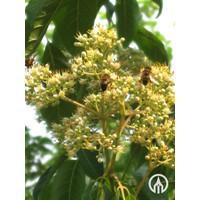 Tetradium daniellii | Bijenboom - Meerstam