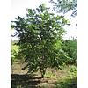 Boomkwekerij M. van den Oever Tetradium daniellii | Bijenboom - Meerstam