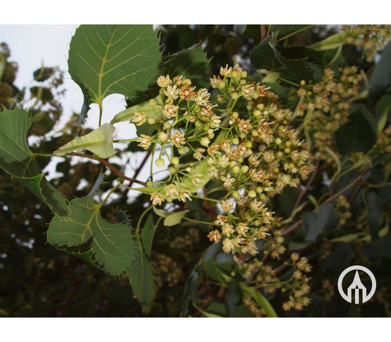 Tilia henryana | Gewimperde linde - Meerstam