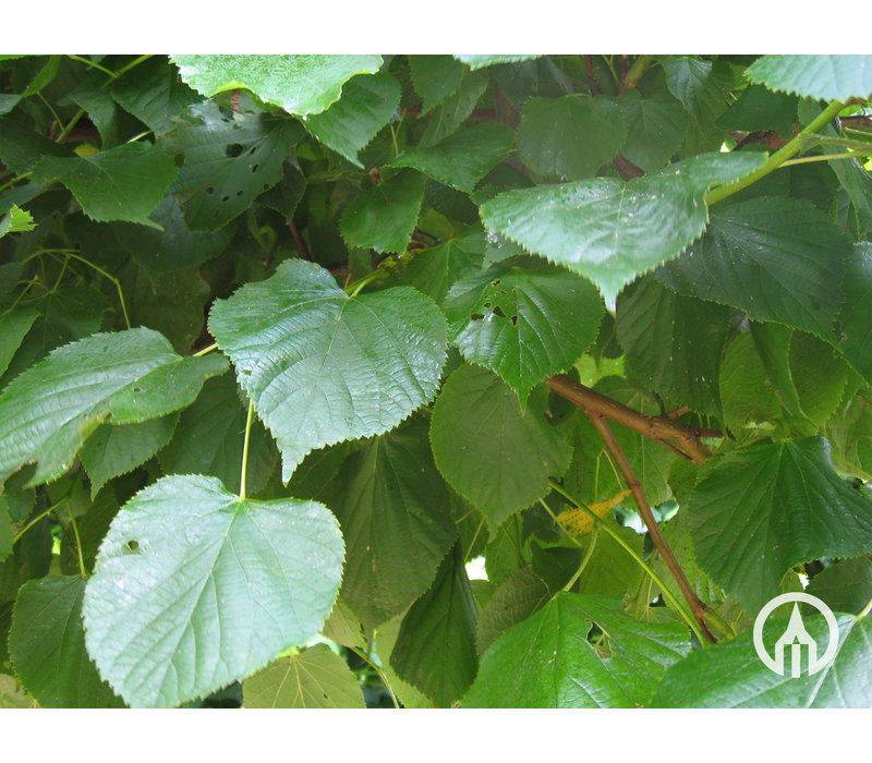 Tilia europaea  Pallida | Koningslinde - Copy