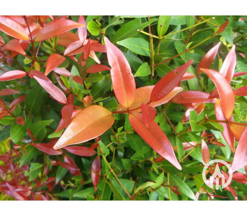 Photinia 'Red Robin' - Glansmispel