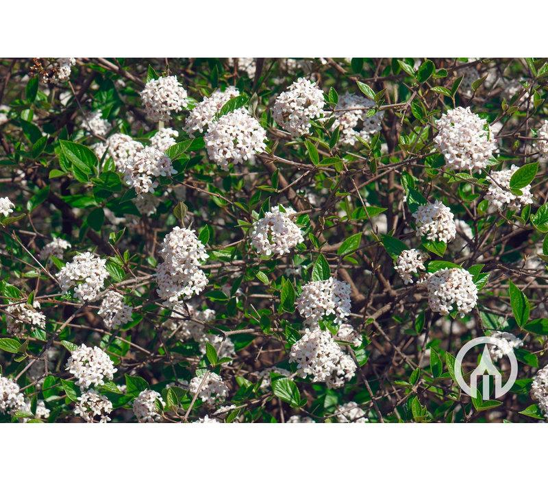 Viburnum burkwoodii | Sneeuwbal