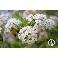 Viburnum Burkwoodii