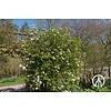Boomkwekerij M. van den Oever Viburnum burkwoodii | Sneeuwbal