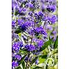 Boomkwekerij M. van den Oever   Caryopteris 'Heavenly Blue' | Blauwbaard