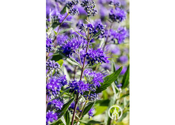 Boomkwekerij M. van den Oever Caryopteris 'Heavenly Blue'