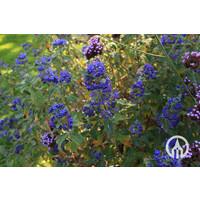 Caryopteris 'Heavenly Blue'- Blauwbaard