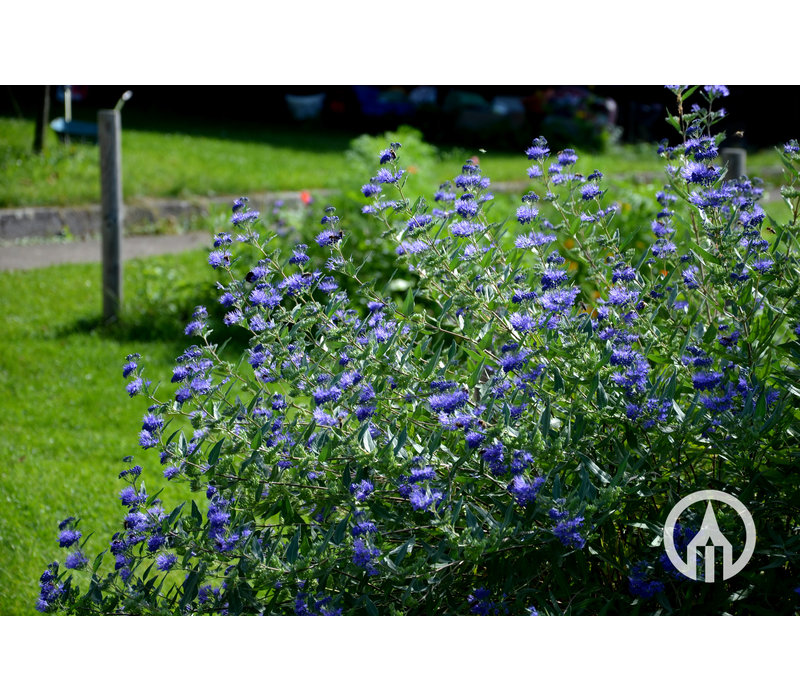 Caryopteris 'Heavenly Blue' | Blauwbaard