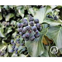 Hedera Arborescens - Struikklimop