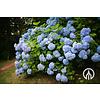 Boomkwekerij M. van den Oever Hydrangea Macrophylla | Grote Hortensia