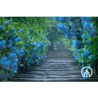 Hydrangea Macrophylla | Grote Hortensia