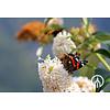 Boomkwekerij M. van den Oever Buddleja davidii 'White Profusion' - Vlinderstruik