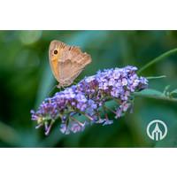 Buddleja Free Petit - Dwerg vlinderstruik