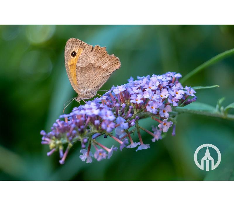 Buddleja davidii 'Free Petite' - Dwerg vlinderstruik