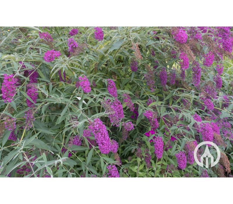 Buddleja Blue Chip - Dwerg