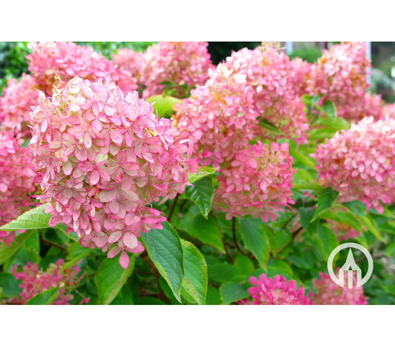 Hydrangea Paniculata - Pluim Hortensia