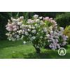 Boomkwekerij M. van den Oever  Hydrangea Paniculata - Pluim Hortensia