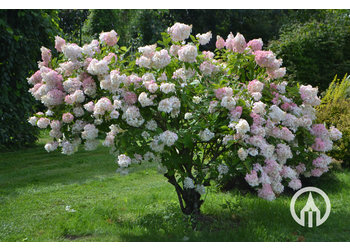 Boomkwekerij M. van den Oever Hydrangea paniculata