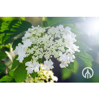 Viburnum tinus - Sneeuwbal