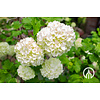 Boomkwekerij M. van den Oever Hydrangea arborescens 'Anabelle' | Annabelle hortensia