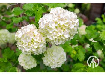 Boomkwekerij M. van den Oever Hydrangea arborescens 'Anabelle'