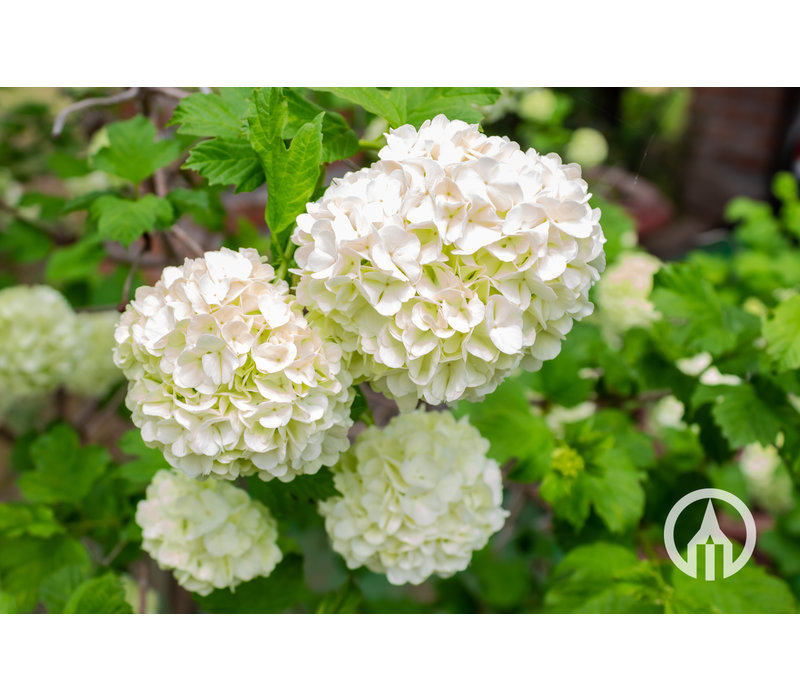 Hydrangea arborescens 'Anabelle' | Annabelle hortensia